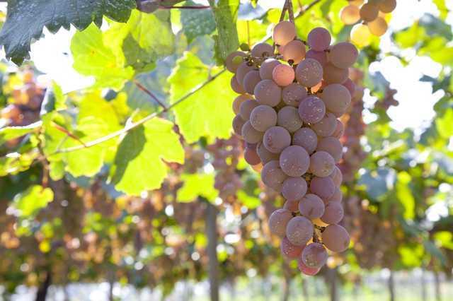 【飲食トリビア】種なし葡萄、その 驚きの栽培方法とは?